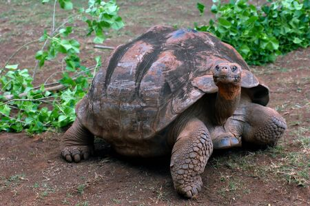 large turtle: Large turtle crawls with head stretched, searching for grass