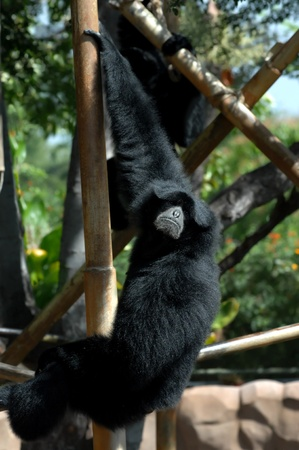 howler: Howler Monkey gives an aggressive glare as he hangs with one hand in the Honolulu Zoo in Hawaii  Stock Photo
