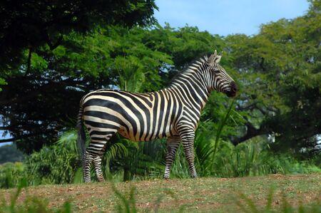 Zebra está descansando sobre sus pies Él está listo para el vuelo si los árboles necesarios y follaje rellenar el fondo con cielo azul Foto de archivo - 14922017