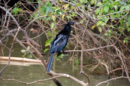 costa rican: Anhinga bird sits in the branches over a river in the Costa Rican Rainforest.  It has black feathers and webbed feet. Stock Photo