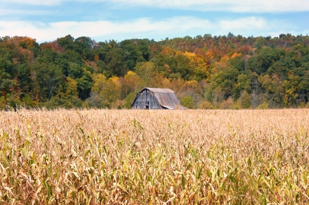 Tennessee cornfield is past its prime as Fall colors the mountainside   Rustic wooden barn with sloping tin roof sits in background  photo
