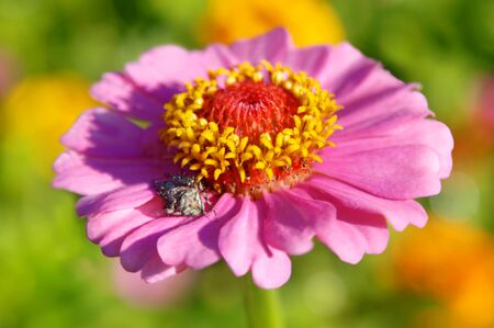 shasta daisy: Gorgeous pink shasta diasy is the hiding place of a grey spider   Early morning light partially shadows him with brilliant colors of green and yellow filtered in the background  Stock Photo