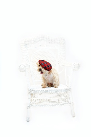 poodle mix: Adorable Silkypoo, silky terrier and poodle mix, sits on a white wicker chair in an all white room   She is wearing a red plaid tam