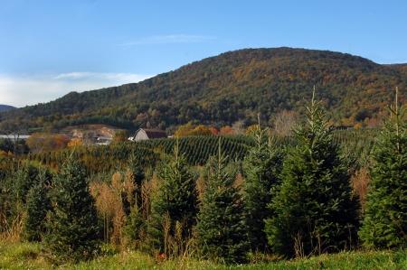 a cedar: Filas de árboles abrazo ladera Navidad del árbol del paisaje rural de montaña Virginia granja frentes como granero y follaje de otoño Foto de archivo