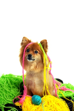 mess: Cute pomeranian sits in the middle of the mess he has made of several yarn balls   Yarn is hanging from his head and he is looking so innocent  Stock Photo