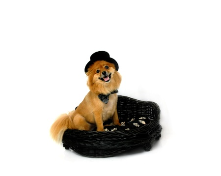 Cute Pomeranian wears a bowtie and top hat.  He is sitting in a black wicker doggy bed and is smiling for the camera. photo