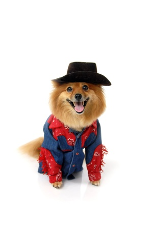 Pomeranian wears a cowboy, snap up shirt and a cowboy hat.  He is sitting in an all white room looking at the camera.