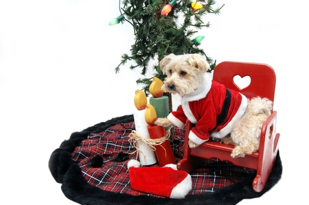 Silky Poo sits in a red, wooden rocking chair under the Christmas tree waiting on Santa to come. photo