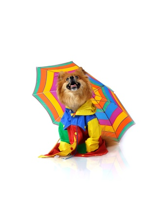 Pomeranian looks up and checks the sky for rain.  But he is prepared with his colorful umbrella and raincoat. photo
