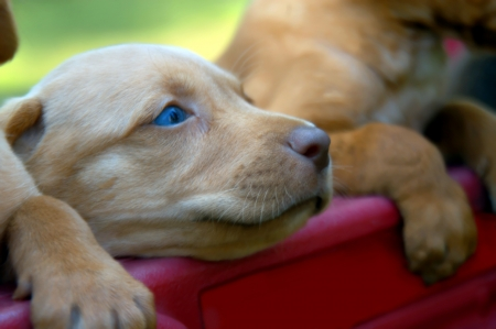 Tired puppy lays his head on the edge of a red wagon.  He and his brothers have tried their best to climb out but with no success.