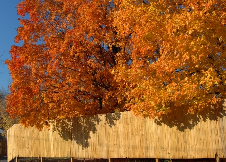 overhanging: Arkansas maple trees glow with orange and yellow   Branches overhang a privacy fence in a northern Arkansas neighborhood