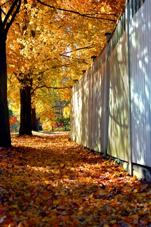 City street has tunnel of overhanging maple branches forming a tunnel of gold and orange   Sidewalk is covered with fallen leaves   Wooden security fence runs length of sidewalk  photo