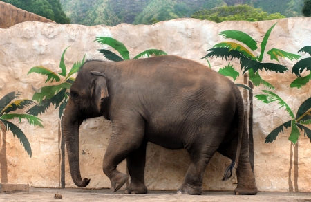 At Honolulu Zoo, elephant walks besides a zoo wall that is painted with palm trees   Small coconut lays in sand besides pachederm  Banque d'images