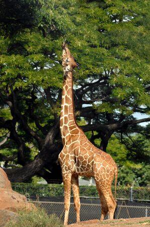 Giraffe reaches for an appetizing branch at the Honolulu Zoo in Hawaii   Giraffe