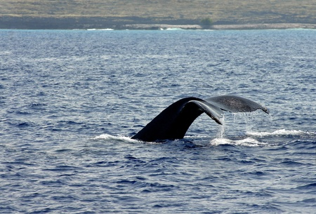 submerging: Kona Coast serves as background for a whale watch   This whale dives and flips his tail up as he submerges   Water is dripping from tail  Stock Photo