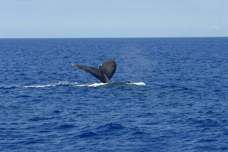 submerging: Boat tour on the Big Island of Hawaii, yields a whales tail in a vivid blue ocean and clear skies  Stock Photo