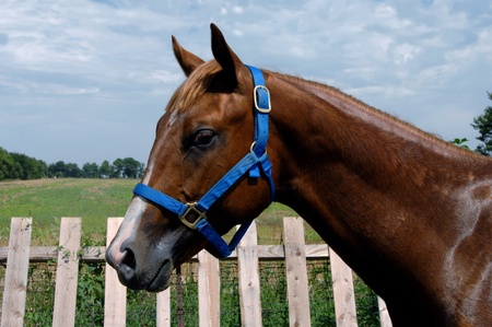 Gelding, sorrel quarter horse stands in profile besides a wooden picket fence   He is wet with sweat from work out