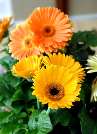 Yellow and orange zennias fill bouquet on the dinning room table.