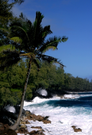 tenacious: Lone palm tree clings to rocky shoreline on the Big Island of Hawaii   Waves crash against the rocky black lava beach near south of McKinzie Beach Park