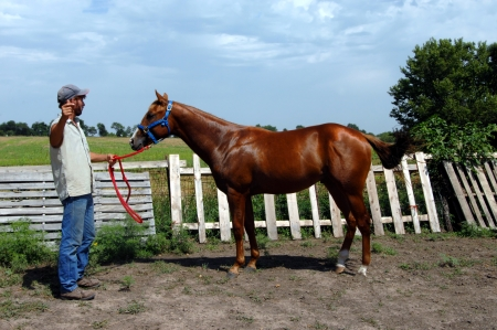 Trainer holds reins of potential racing horse.  Sorrel gelding, quarter horse stands in profile besides rustic wooden fence.  Blue skies with meadow behind horse. Banque d'images