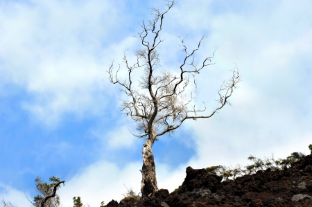 Lone tree stretches toward the blue sky   Growing in the barren lava field of Hawaii Volcanoes National Park on the Big Island this die hard tree stands on a mountain of hardened lava Stock Photo - 15024237