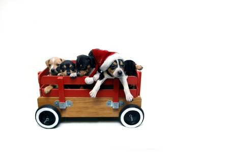 Wagon load of puppies are ready for the Christmas holidays   Isolated on white  photo