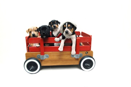 beagle mix: Four puppies stand in a wooden red wagon   One is wearing a santa clau cap   Hunting dog mix breed of jack russel terrier and beagle