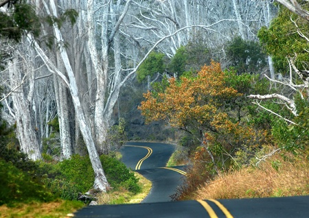 off path: Big Island of Hawaii backroad curves and dips at it winds around tall white tree trunks