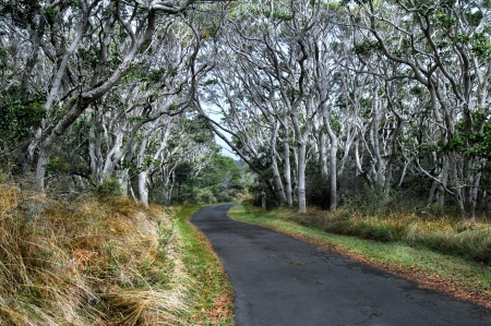 A tunnel of Koa Trees line the road on the quiet road up Mauna Loa on the Big Island of Hawaii