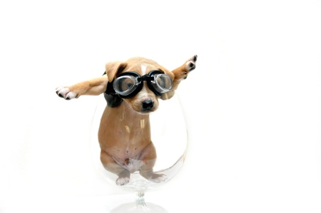 Puppy wearing goggles and black leather jacket is caught inside a glass goblet   He could have been either looking for his motor cycle or his airplane
