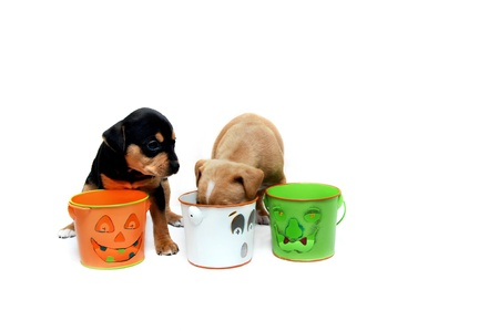 Two small puppies search trick-or-treat pails hoping for some left over treats   Pails have cute grins but are empty   All white room
