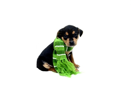 Small black and tan puppy sits in an all white room wrapped in a brightly colored green and white winter scarf