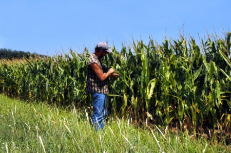 controling: Kansas field full of growing corn is checked by farmer for pests   Farmer is wearing jeans and cut off checked shirt  Stock Photo