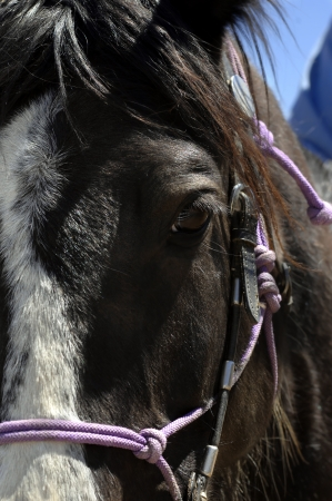 Closeup of horses head with bridle and reins   Eyelashes are highlighted by sunshine   Black and white paint, Tennessee Walker  Stock Photo