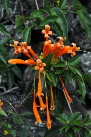 ornage: Brilliant ornage flame vine blooms among rocks and lush vegetation on the Big Island of Hawaii