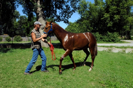 chestnut male: Trainer works on teaching his young sorrel quarter horse how to back up.  Horse is wet with sweat. Stock Photo