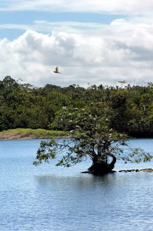 and egrets: A tree surrounded by water is the chosen nesting place for a flock of white egrets on the Big Island of Hawaii. Stock Photo