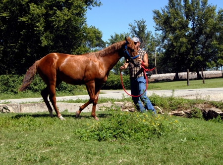 chestnut male: Male training teaches stud colt to back up on command.  Horse is a chestnut quarter horse.  Farm is in central part of Kansas. Stock Photo