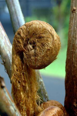 Fiddlehead 고사리의 꽉 짜서 머리는 하와이의 빅 아일랜드에있는 열대 우림의 캐노피 밑 부분을 형성합니다. 스톡 콘텐츠