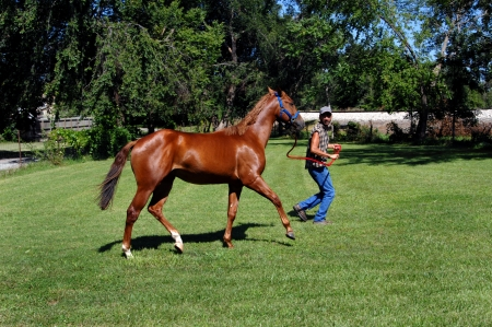 Trainer and horse build up speed as they trot around a pen in central Kansas.  Halter is blue and lead rope is red. Stock Photo