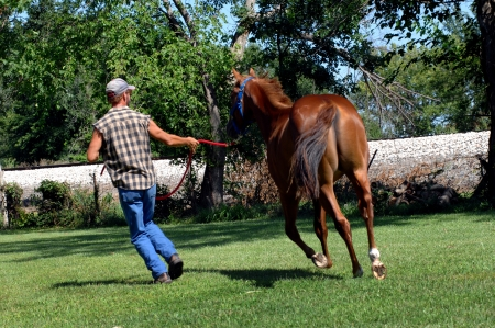 Trainer puts colt through his training exercises.  Trainer is running and holding red lead rope to the sorrel quarter horse.
