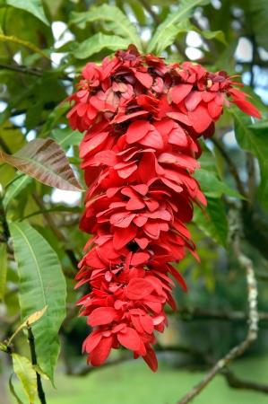 Eine Einzelne Blüte Aus Der Blüte Weeping Putzer Baum Hat Cluster ...