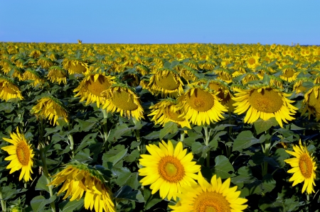 as far as the eye can see: Bumber Kansas sunflower crop glows in the morning sunshine.  Sunflowers as far as the eye can see.