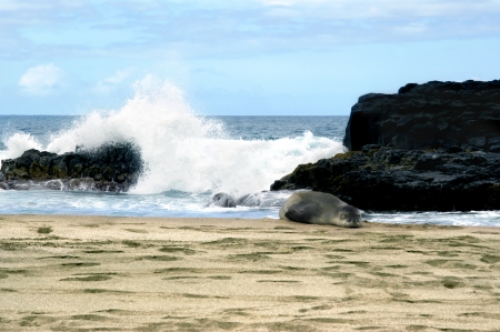Exhausted monk seal sprawls on a Kauai, Hawaii beach   Waves crash against the rocks behind him   He is oblivious and continues to sleep