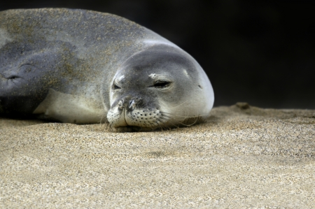 sprawled: Endangered and protected monk seal opens his eyes after napping on the Kauai, Hawaii beach   Closeup of head