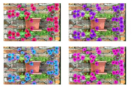 Four versions of a note card cover showing four different colors of pentunias growing along a rustic brick wall.  photo