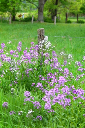 Homemade fence pole is strung with barbed wire and overgrown with Tennessee wildflowers.  In background old woman comes in after checking the garden and pasture is covered in springtime grasses.