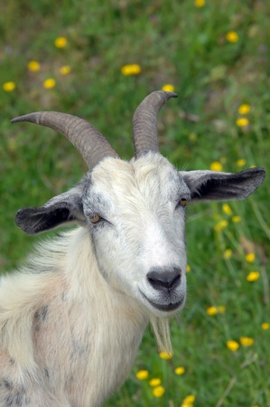 White goat with long horns stands in a field of green grass and yellow flowers. photo
