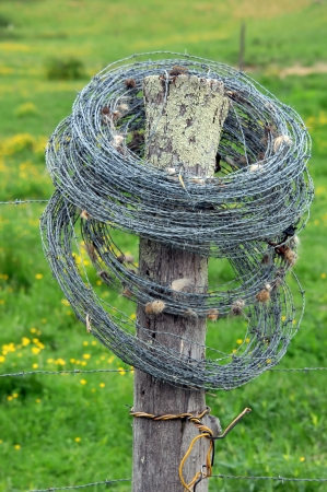 cattle wire wire: Roll of barbed wire serves as scratching post for cattle.  Clumps of hair cling to barbs where cows rubbed.