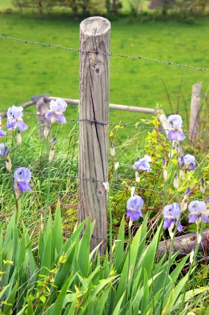 fencepost: Fence post surrounded by free growing irirs, fronts a field of lush green grass